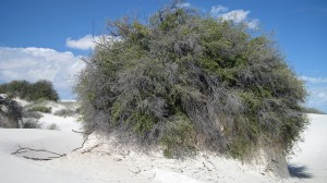 Bush hanging onto life, despite the shifting sands