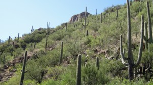 Cactii on the hills of Sabino Canyon