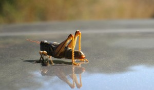 Grasshopper on Prius roof -- Grasshopper is name of our sailboat and symbolic of our approach to life, I guess.