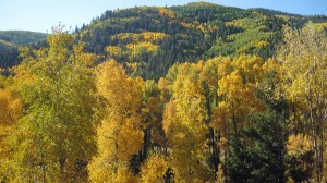 Golden Aspens near Dolores, Colorado