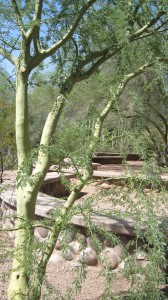 Palo Verde Tree - notice the green trunk