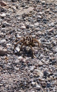 Look a tarantula.  (In Rhyolite)